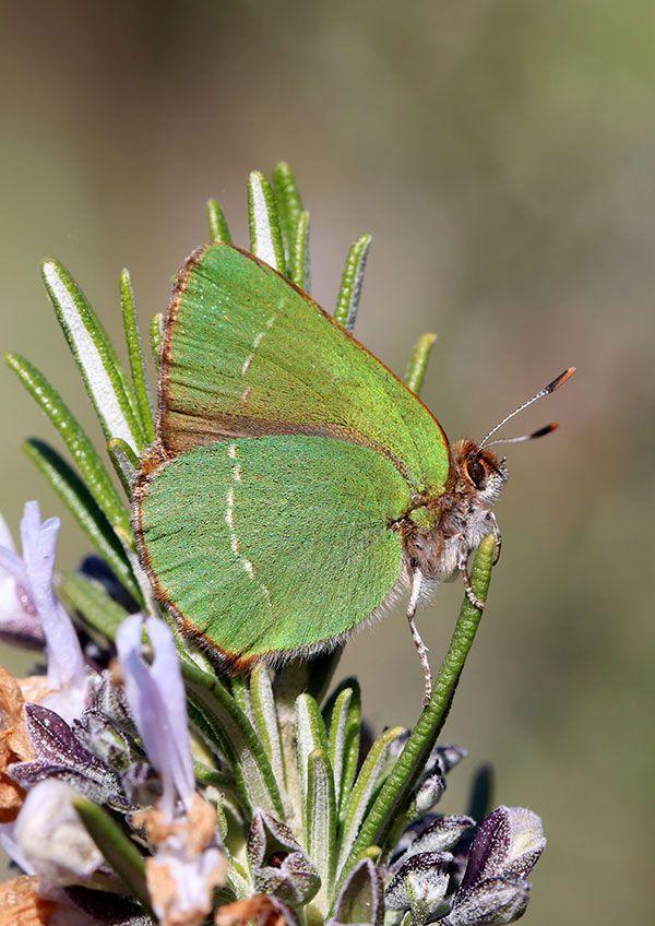 La Thécla de l'Arbousier, ce papillon méditerranéen est très localisé dans le maquis provençal, en particulier dans le massif des Maures