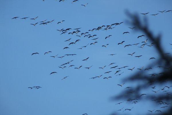 Vol de grues cendrées au dessus du Limousin