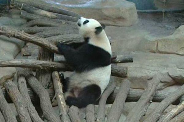 Le couple de pandas Huan Huan et Yuan Zi est arrivé de Chine en janvier 2012. Le Zoo du Parc de Beauval à Saint-Aignan-sur-Cher (41) a reconstitué pour eux un enclos climatisé de 4000 m2 avec rivières, cascades, brouillard artificiel