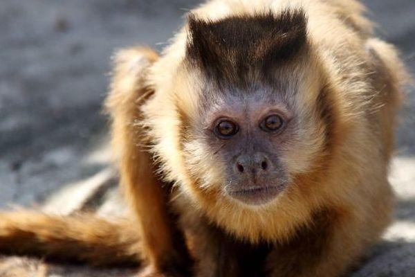 Le singe capucin volé à Fitilieu en Isère