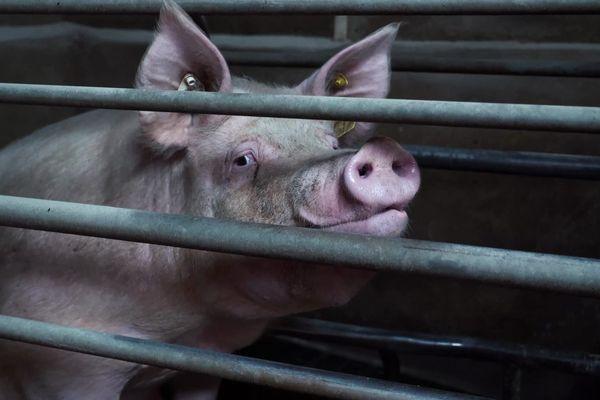 Contrairement à ce qui apparaît dans la publicité, les porcs de cet élevage mayennais ne vivent pas sur un lit de paille, mais dans des cages, dans un bâtiment sans lumière naturelle.