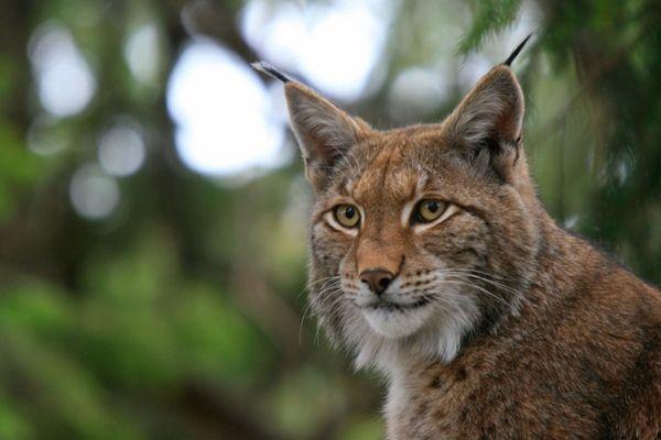 Portrait de Lynx.