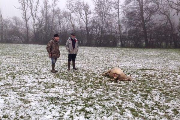 Triste constat d'une brebis égorgée dans un champ de Haute-Saône