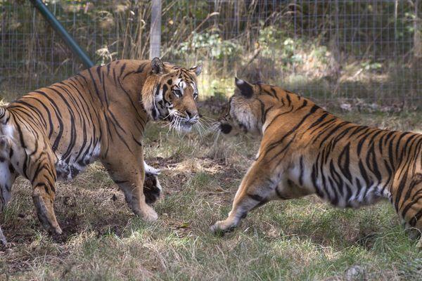 Le projet prévoit, pour l'hiver 2019, la construction d'un enclos d'une superficie globale de 5.000 m² avec un bassin pour les tigres de Sibérie .