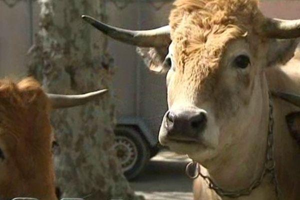 80 vaches font salon à Vincat dans les Pyrénées-Orientales