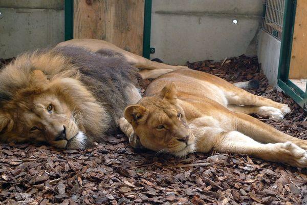Deux des trois lions récupérés par le parc zoologique de Saint-Martin-la-Plaine en 2010 - Loire