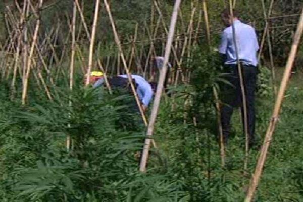 1200 pieds de marijuana ont été saisis et détruits près de Figueres. Albanya octobre 2014.
