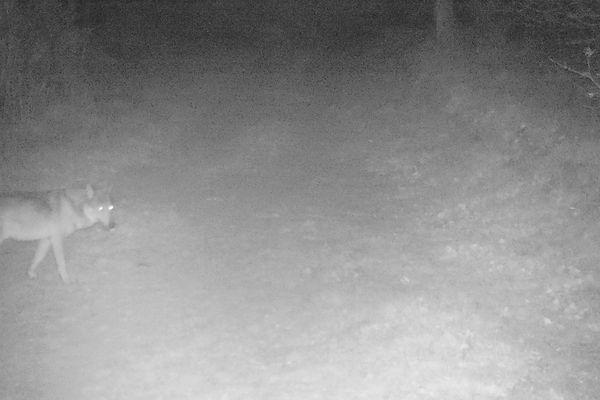 Après le Tarn en 2018, le loup confirme sa présence ponctuelle dans l'Ariège.