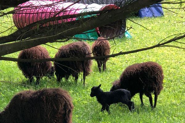 Les chèvres naines et les agneaux tués appartenaient à ce troupeau issu d'un refuge à Saint-Paul-de-Varces.