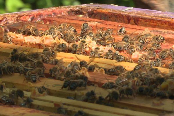 Les abeilles d'Isabelle et Alexandre Martinez sont sous surveillance rapprochée grâce à un système vidéo.