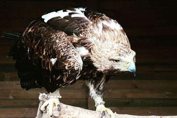 Darshan, le pygargue à queue blanche, Haliaeetus albicilla, l'aigle de tous les exploits.