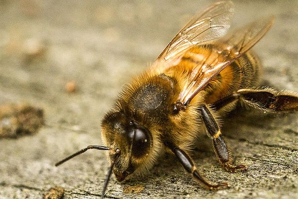 Les abeilles constituent un maillon essentiel de la chaîne qui contribue à maintenir l'équilibre des écosystèmes.