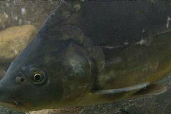Le poisson est très prisé par les pêcheurs et pourtant il n'est pas mangé mais relâché