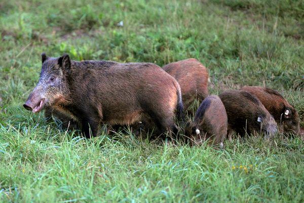 L'arrêté visait à empêcher qu'un trop grand nombre de sangliers élisent domicile dans le bois du Bousquet, entouré d'habitations.