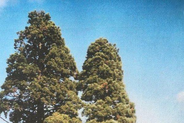 Les cimes des deux séquoias photographiées en 2006