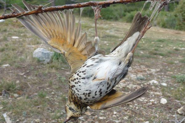 Ce sont principalement les grives et les merles qui subissent cette chasse dite « traditionnelle » qui consiste à capturer les oiseaux avec de la glu déposée sur des baguettes ou des branches d'arbres.