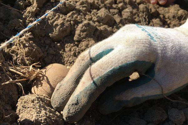 Les pommes de terre bio seront récoltées en septembre et distribuées via les réseaux d'aide alimentaire aux personnes les plus démunies.