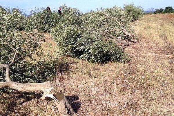 Garrigues-Sainte-Eulalie (Gard) - une vingtaine d'oliviers tronçonnée au pied - 11 août 2016.