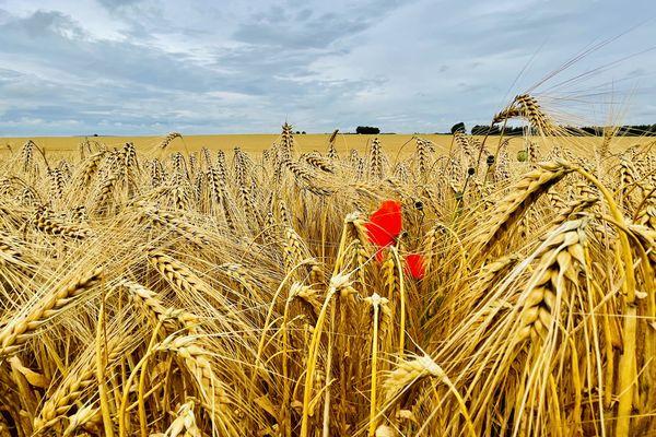 Une campagne tardive pour les escourgeons en Champagne-Ardenne, comme ici sur cette parcelle de la commune de Selles