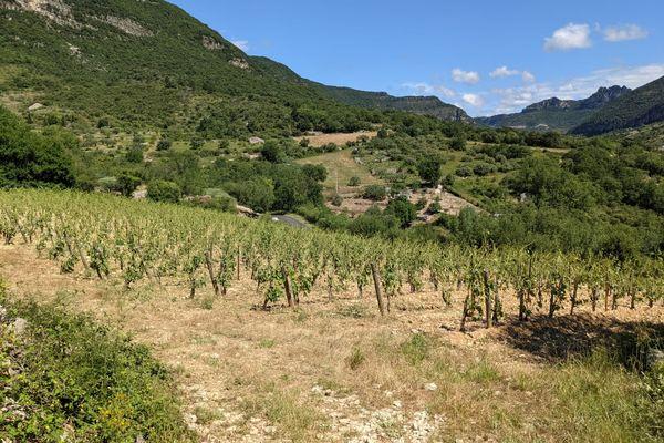 Dans le secteur de Lodève, nombreux sont les domaines viticoles touchés par les orages de grêle de ce lundi 21 juin