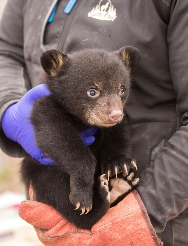 Le 3 avril, l'équipe animalière a procédé au puçage obligatoire des oursons après un examen médical complet