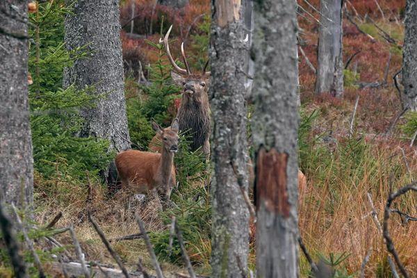 Une grande diversité d'espèces peuple la vallée du Verdon, ici le cerf élaphe dans le haut Verdon
