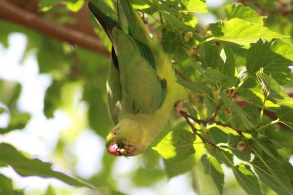 Une perruche à collier en train de manger au jardin des plantes