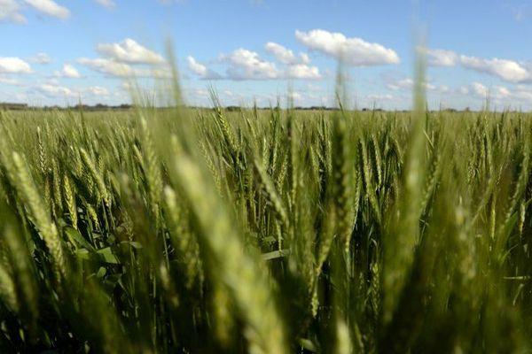 """Plus de 200 chercheurs originaires d'une quinzaine de pays sont réunis mi-novembre à Clermont-Ferrand pour échanger sur la création de nouvelles variétés de blé, mieux adaptées au changement climatique et aux besoins des populations. Ce congrès international associe le projet français """"BreedWheat"""", lancé en 2011 pour une durée de 9 ans dans le cadre du programme """"Investissements d'avenir"""" initié par le gouvernement, à d'autres projets nationaux, allemand et anglais notamment."""