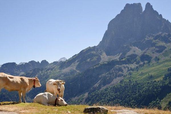 Blondes d'Aquitaine devant le Pic du Midi d'Ossau.