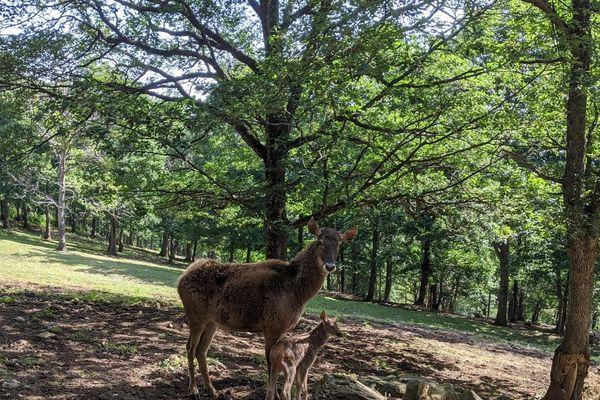 Au parc animalier d'Auvergne, dans le Puy-de-Dôme, un bébé cerf de Thorold a vu le jour le 8 juin, une première en France.