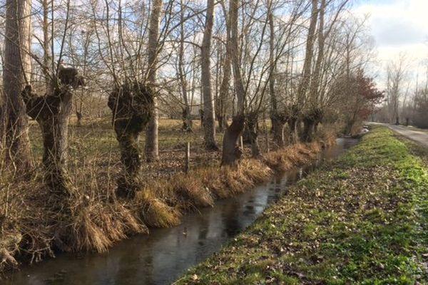 Les frênes tétards du Marais Poitevin sont malades, attaqués par la chalarose.