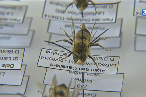 Des spécimens d'abeilles sauvages de la collection d'insecte du muséum de Nantes.