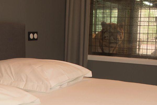 Vue du tigre sur la chambre à coucher d'un des lodges du zoo de Pessac.