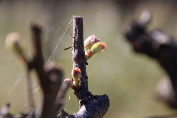 La majorité des vignes du domaine Coste-Moynier a été planté il y a plusieurs décennies. Elles ont trois ans pour s'adapter au changement de culture, passer du conventionnel au bio.