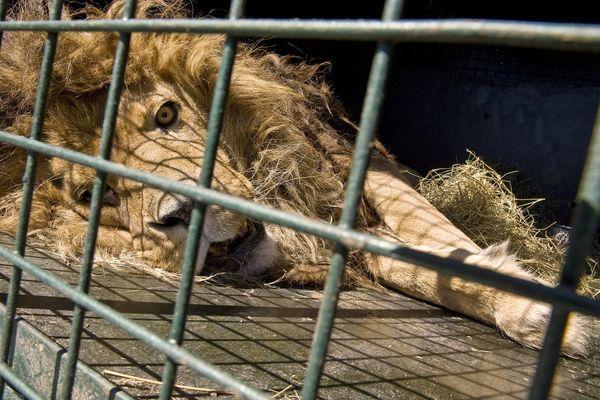 Un lion anesthésié pour être transporté lors de l'évacuation du zoo de Bouy (Puy-de-Dôme) organisée le 9 avril 2015.