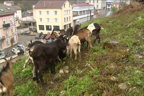 Les chèvres de Morez entretiennent les paysages depuis l'an dernier