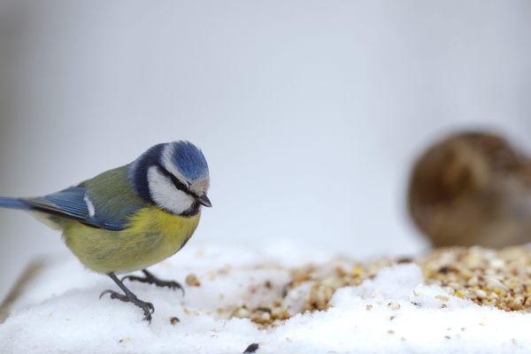 Une mésange bleue cherche des graines dans la neige