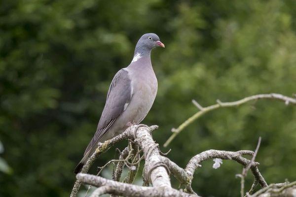 Le pigeon ramier présent dans les campagnes limousines