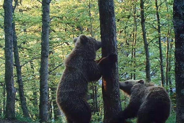 La télémanifestation a pour but de défendre la présence de l'ours dans les Pyrénées