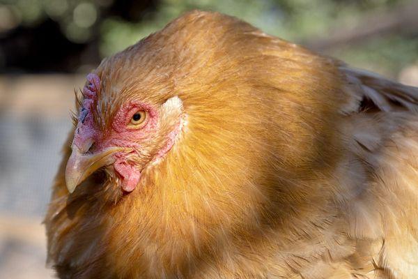 Les poules doivent être confinées pour éviter d'être contaminées par la grippe aviaire.