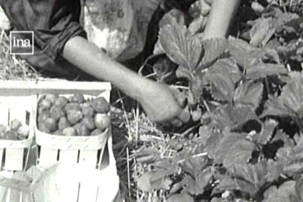 Dans les années 60, les proiducteurs de fraises prospéraient à Courpière.