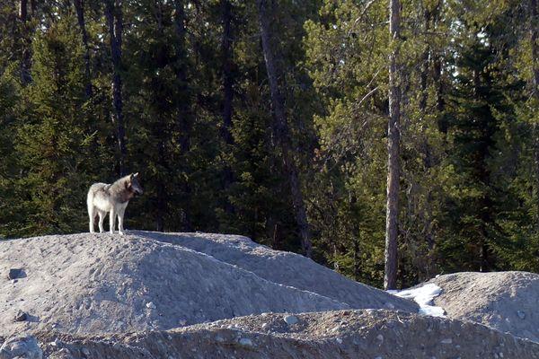 C'est un nouvel indice de la présence de l'animal dans le Doubs, après la découverte d'un cadavre de loup à Chaffois (25) en mars 2018
