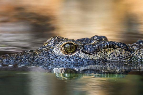 Depuis décembre, la Ferme aux Crocodiles de Pierrelatte (Drôme) héberge Eleanor, un crocodile du Nil découvert dans les égouts de Paris en mars 1984.... (image archives)