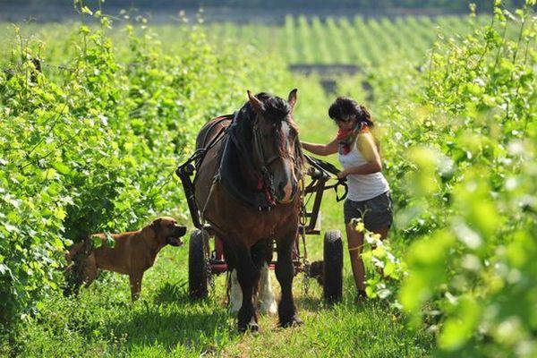 L'entretien de la vigne du Clos Cristal à Souzay-Champigny