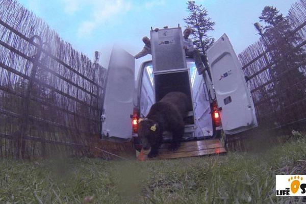 Les premiers pas de Goiat, l'ours lâché en 2016 par les Catalans.