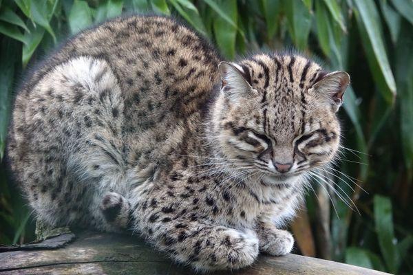 Le Chat de Geoffroy est un petit félin sauvage qui vit en Patagonie.