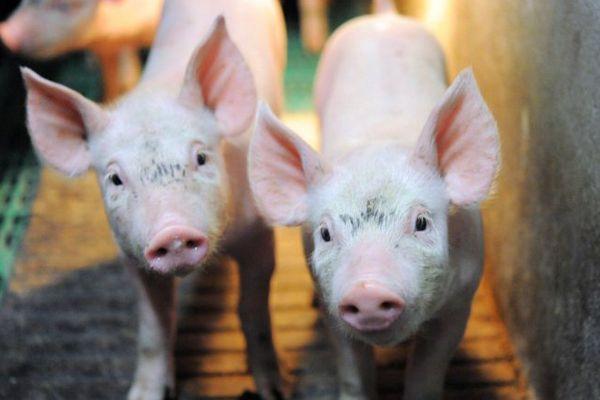 Porcs dans un élevage de Ploneour-Lanvern (29) - Août 2015