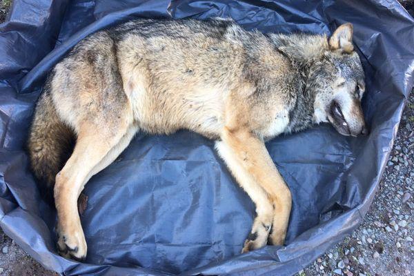 le loup a été transporté à l'office national de la biodiversité