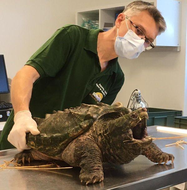 La macrochelys était arrivée le 3 mai 2020 au village des tortues de Carnoules.