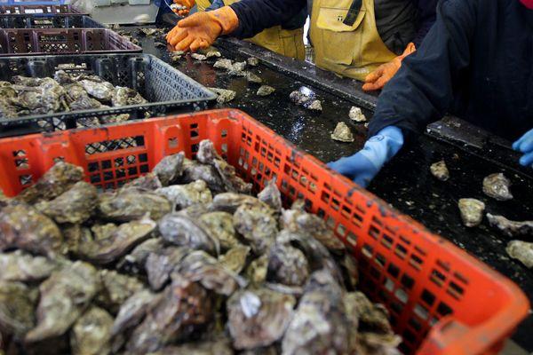 Dans le bassin de Marennes-Oléron, la filière ostréicole recherche de la main d'oeuvre avant les fêtes.